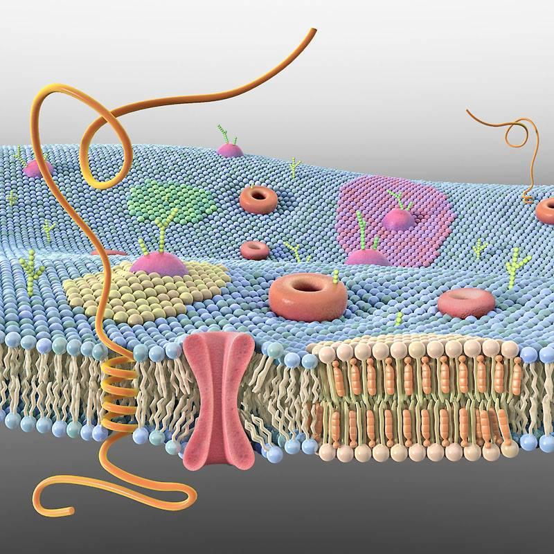 Membrana plasmática 3D