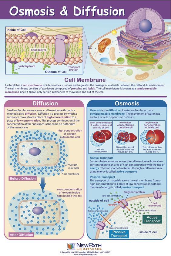 Diferencias entre ósmosis y difusión