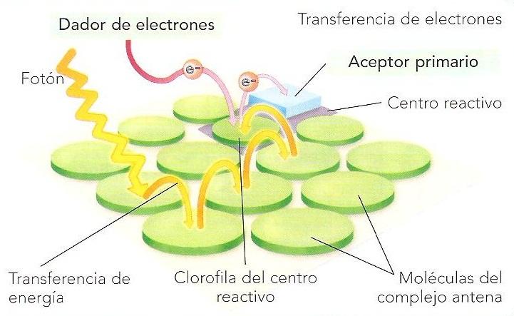 Complejo antena del fotosistema