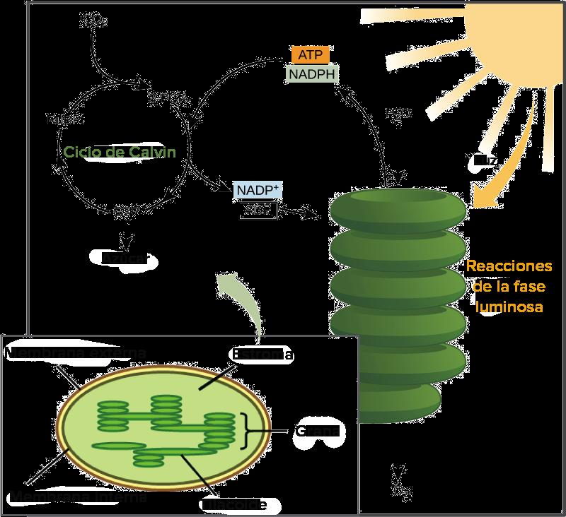 Cloroplasto y fases de la fotosíntesis