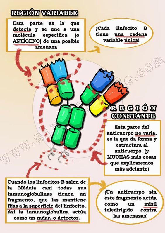 Partes de la inmunoglobina